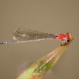 Pseudagrion p. declaratum by Deny Afrian Wahyudi - Animals Insects & Spiders ( dragonfly, red, biodiversity, darmselfies, canon )