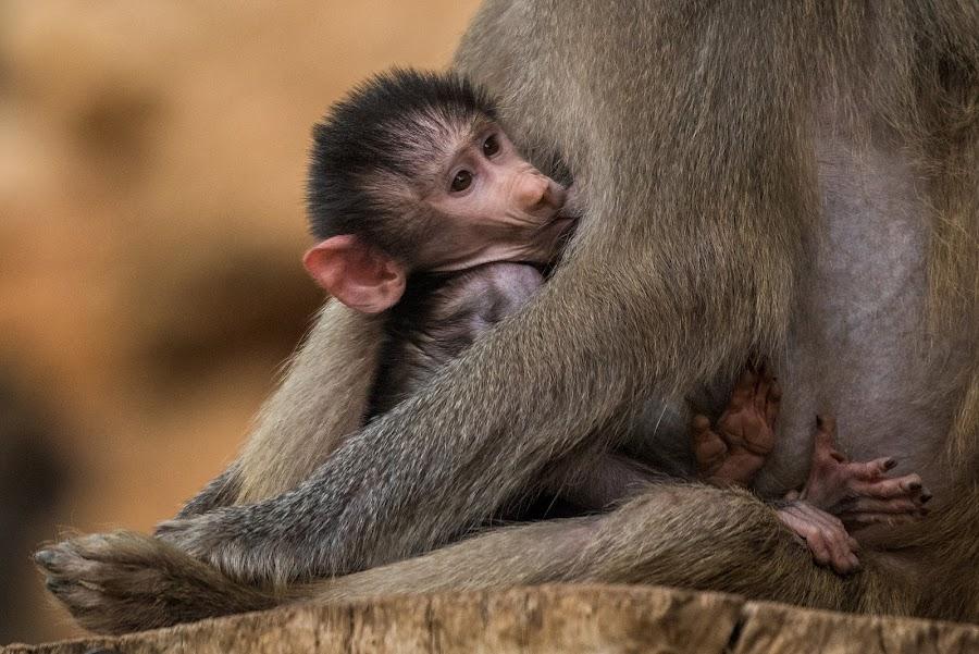 Baby baboon feeding by Tzvika Stein - Animals Other Mammals ( baboon, mother, feeding, baby, monkey )