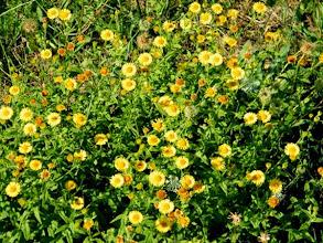 Photo: L' ANTHEMIS DES TEINTURIERS (Cota tinctoria subsp.) Une plante sauvage devenue rare - Lubéron (04) - août - bord de route.