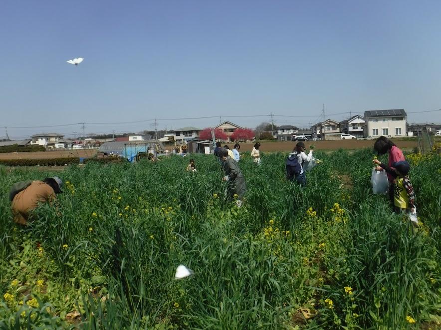 3/31(土)の菜花摘みの様子。こぼれ種のライ麦がぐんぐん伸びて、菜花が見えないですね