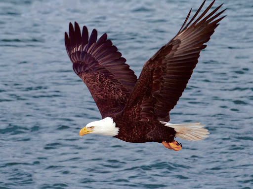 Bald-Eagle-Over-Water.jpg - Half of all bald eagles in the world live in Alaska.