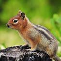 Cascade golden-mantled ground squirrel
