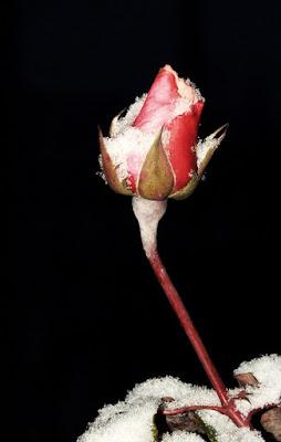 Rosa di asaasa