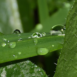 grass water droplets  by Zhenya Philip - Nature Up Close Natural Waterdrops ( macro, green, nature, grass, earth, water,  )