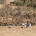Kentish Plover; Chorlitejo Patinegro