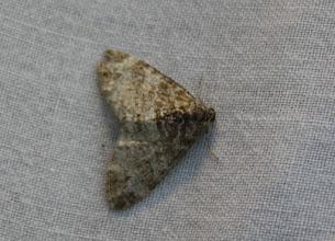 Photo: Lobophora halterata    Lepidoptera > Geometridae