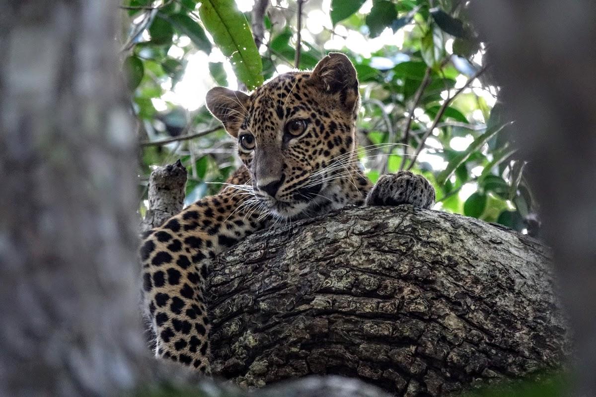 Sri. Lanka Wilpattu National Park . Enquiring leopard