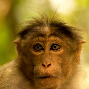 Bonnet Macaque-Day Dreamer  by Srini Tsr - Animals Other Mammals