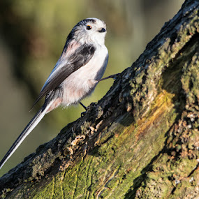 Long tailed tit by Jim Keating - Animals Birds ( farmland, long tailed tit, woodland, small bird, timid,  )