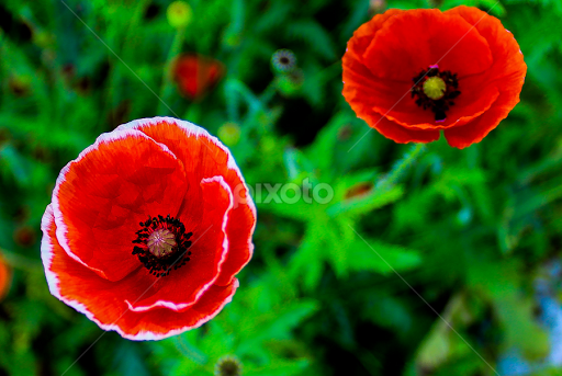 Red Flowers By Atik Zisan In The Wild