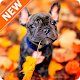 French Bulldog Wallpapers HD for PC Windows 10/8/7