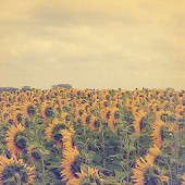 Sunflower Atom Theme