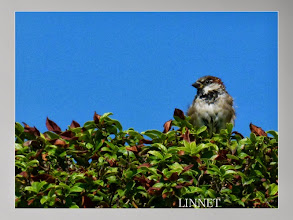 Photo: イエスズメ House Sparrow