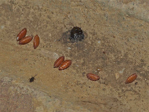 Photo: Zombie fly pupae found under dead honey bees