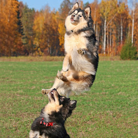Jumping high by Mia Ikonen - Animals - Dogs Playing ( mia ikonen, finnish lapphund, action, canine, fun, pet, jump, finland,  )