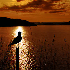 by Veronica Gafton - Landscapes Waterscapes ( water, seagull, sunset, sea, summer, silhouettes, reflections, ocean, norway )