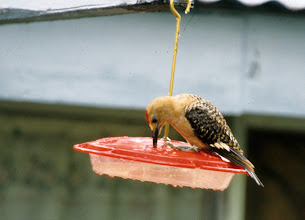 Photo: Adult male Gila Woodpecker drinking from a humingbird feeder in Patagonia, southeast Arizona