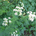 Fluitenkruid (cow parsley)