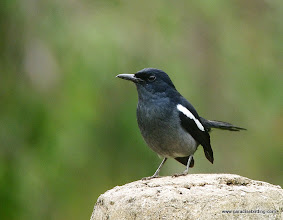 "Photo: ""Adams's"" Oriental Magpie-Robin, Labuk Bay"