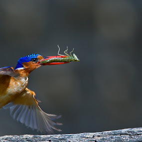 Greens for the kids. by Hennie Cilliers - Animals Birds ( malachite kingfisher., animal, motion, animals in motion, pwc76 )
