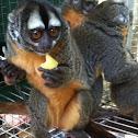 Night monkey aka owl monkey