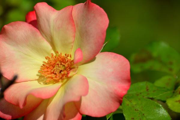semplicemente....un fiore di pavel956
