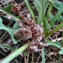 Eusparassus huntsman spider