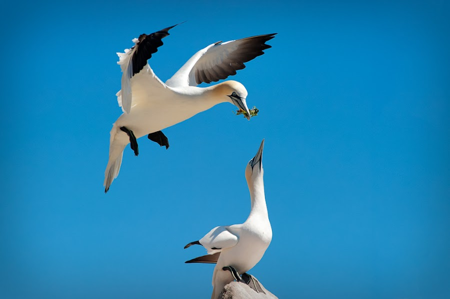 Nesting Gannets by Joe Doyle - Animals Birds