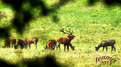 Photo: The red deer (Cervus elaphus) is one of the largest deer species. The red deer inhabits most of Europe.