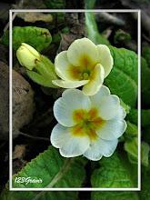 Photo: Primevère acaule, Primula vulgaris