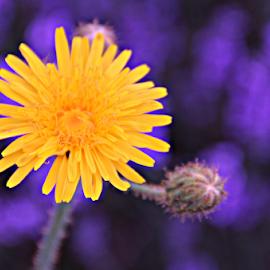 by Stephanie Veronique - Uncategorized All Uncategorized ( wild, nature, yellow, flower.purple )