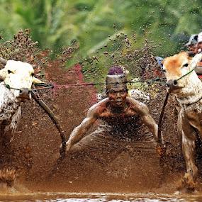 Pacu Jawi III by Abdul Kadir - Sports & Fitness Other Sports ( sport pacu jawi padang west sumatera, sport pacu jawi iii padang west sumatera indonesia. )