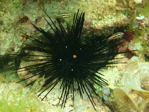 Photo: Diadema Sea Urchin and juvenile Cardinalfish