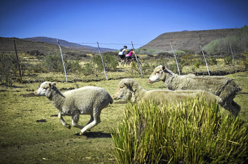 Bucolic bliss: Cycling on Karoo gravel roads around Noupoort, Hanover, Richmond, Graaff-Reinet and Nieu-Bethesda offers a chance to be alone with many sheep and herds of springbok. Sometimes your companions are also meerkat, grey herons and occasionally a tortoise. Picture: MARDI DE KLERK