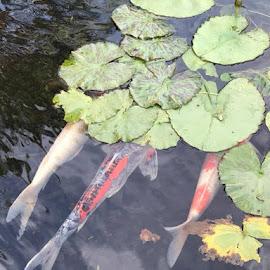 Swimming Fish by Linda Kocian - Animals Fish (  )