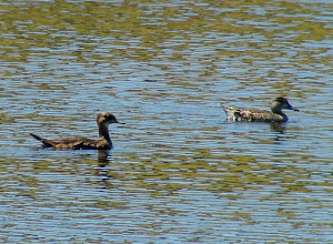 Photo: Hooded Merganser on the left, Green-winged Teal on the right