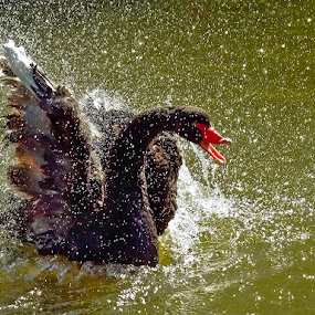 black swan by Doina Russu - Animals Birds ( bird, water, splash, black swan )