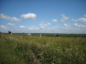 Photo: Kühe an der Treene