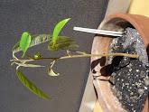 Photo: Baby Durian grows up: Week 6 - 22 cm / leaf 8 cm
