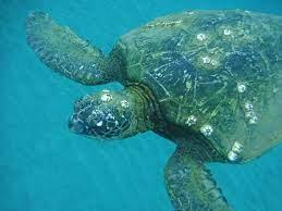 Epibionts on turtle