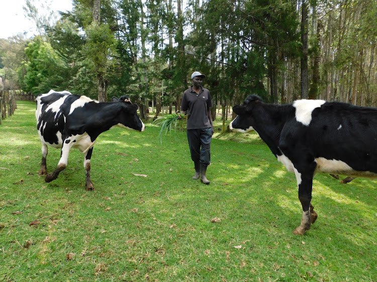 John Ng'ang'a attends to his cows in Mugumo village, Ol Kalou