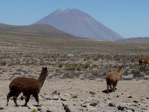 Photo: Lamas vor dem Misti