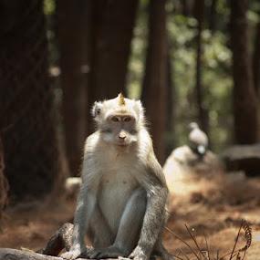Monkey by Khomzin Arief - Animals Other Mammals