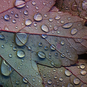 Rainy Day by Lynne McClure - Nature Up Close Leaves & Grasses ( water drops, nature, autumn leaves, nature up close, raindrops, autumn colors, leaves )
