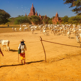 Cows and temples by Łukasz Sowiński - People Professional People ( cows, countryside, bagan, birma, myanmar )