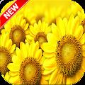Sunflower Wallpaper HD 🌻 APK