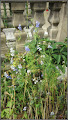 Photo: Rozmarin ( Rozmarinus officinalis) - din Cimitirul Crestin Central - 2017.07.05