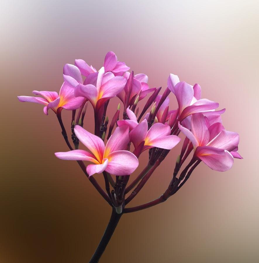 good morning by Git Gitos - Flowers Flower Gardens ( pink, frangipani, with stem )