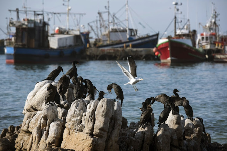 Cape cormorants sun themselves in Kalk Bay harbour. Local fishermen could be adversely affected by the delay in a vital stock survey in the South Atlantic Ocean.