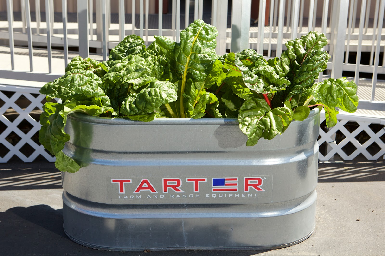 Image of large metal planter full of rainbow chard grown by Empower Language Academy students
